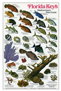 Fish identification guides reef fish identification for Types of fish in florida