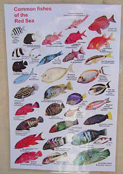 Books on fishes of the red sea arabia iraq arabian for Types of red fish